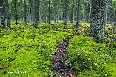 Finland forest.jpg