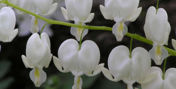 Old Fashioned White Bleeding Hearts