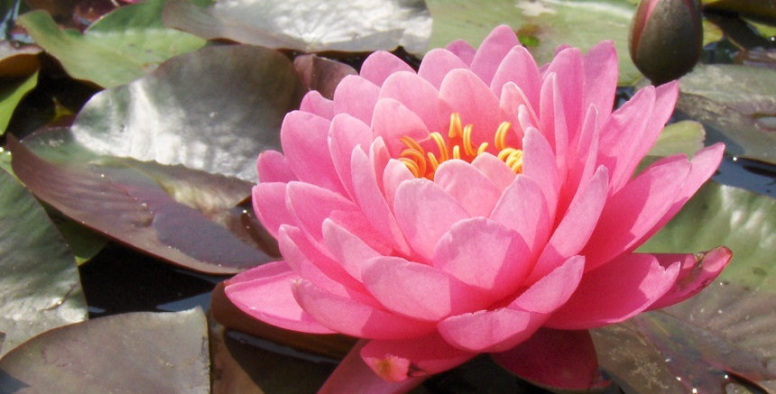 Water Lily 'Fire Opal'