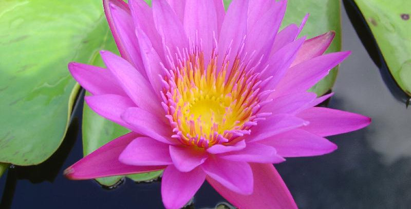 Water Lily 'Praow'