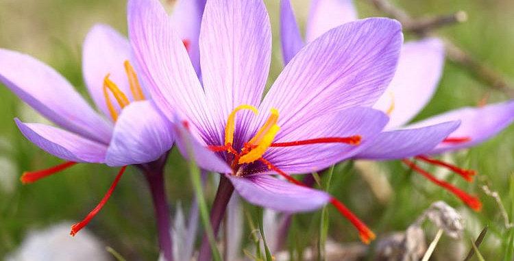 Crocus - Saffron