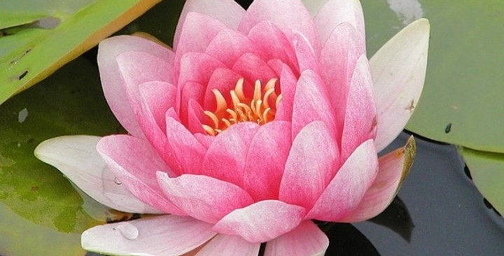 Water Lily 'Fabiola'