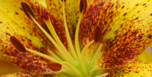 Asiatic Lily 'Golden Stone'