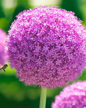 Allium-Banner.jpg