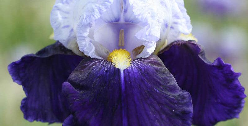Bearded Iris 'Night Edition'