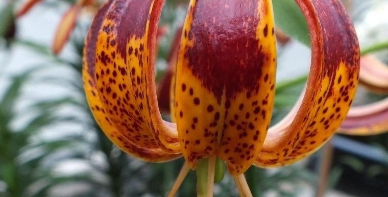 Martagon Lily 'Arabian Knight'