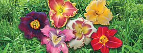 how_to_library_daylilies.jpg