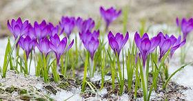 When-to-Plant-Crocus-Bulbs-FB.jpg