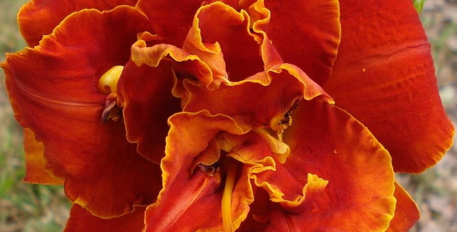 Daylily 'Moses Fire'