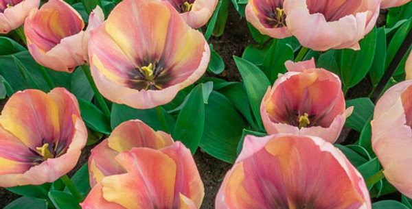 Tulip - Salmon Van Eijk