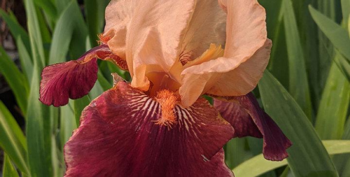 Bearded Iris 'Cimarron Strip'