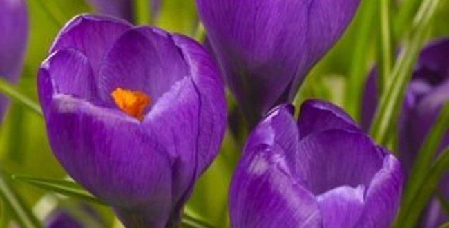 Crocus - Flower Record
