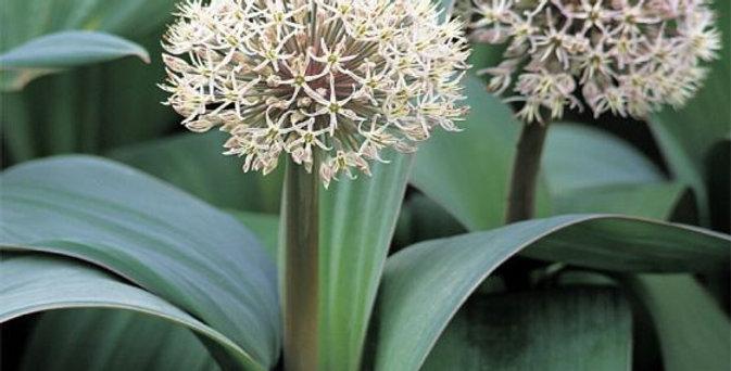 Allium - Turkistan Onion