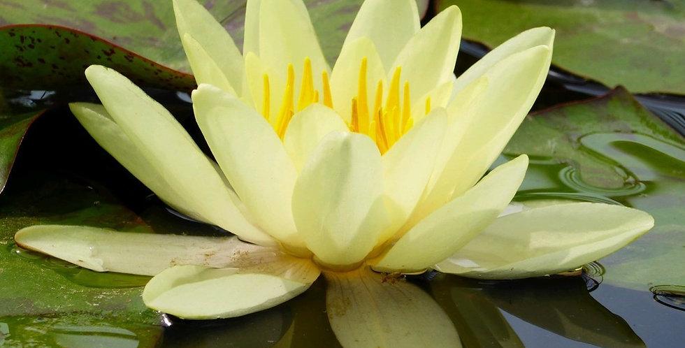 Water Lily 'Marliacea Chromatella'
