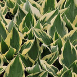 hosta_patriot_2000x.jpg?v=1571611261.jpg