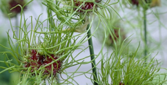 Allium - Hair