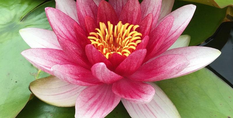 Water Lily 'Laydekeri Lilacea'