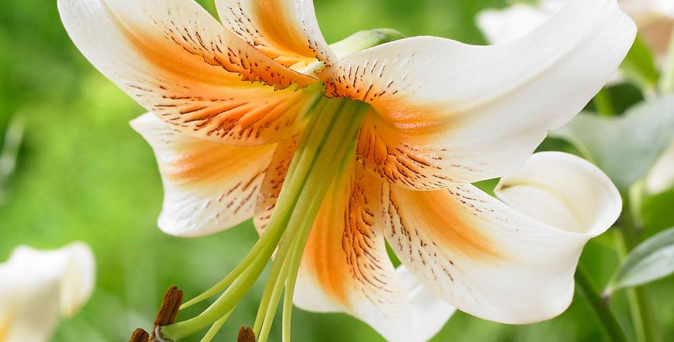 Trumpet Lily 'Lady Alice'