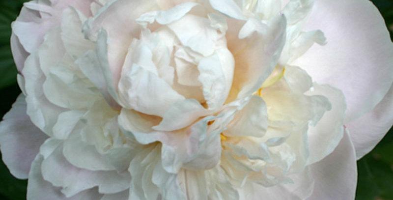 Peony 'Gardenia'
