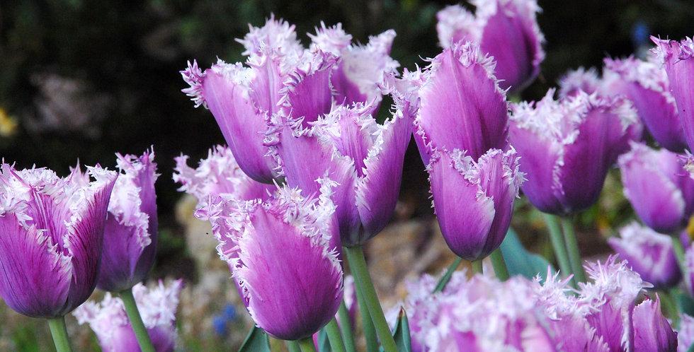 Tulip - Cummins