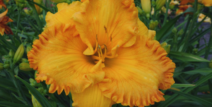 Daylily 'Orange Nassau'