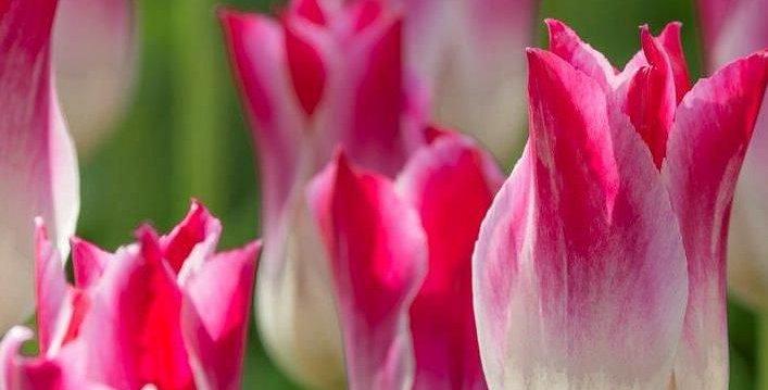 Tulip - Whispering Dream
