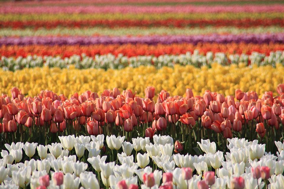 tulip-fields-2862491_1280.jpg
