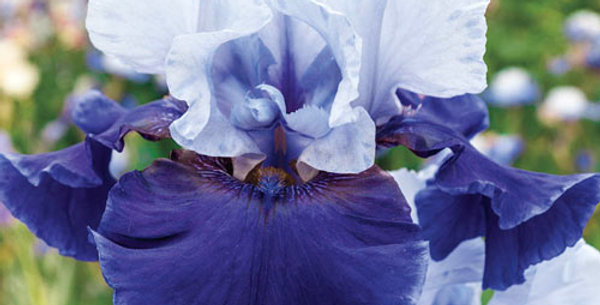 Bearded Iris 'Best Bet'