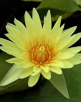 nymphaea-yellow-supan-pot-3-litres.jpg