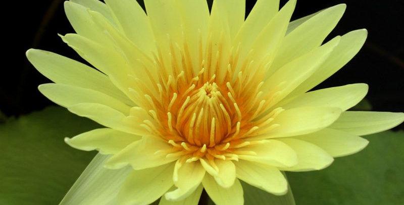 Water Lily 'Yellow Supan'