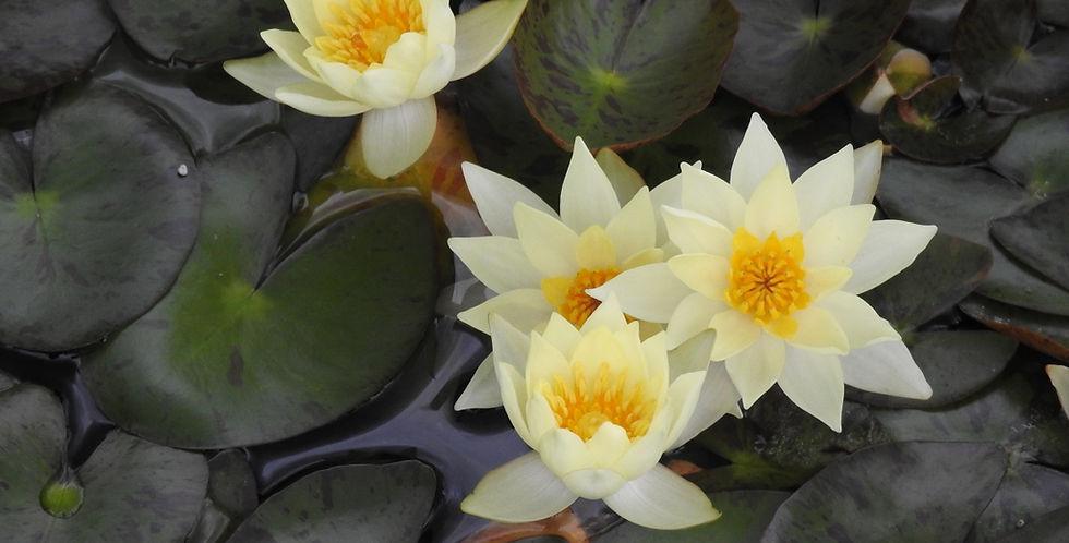 Water Lily 'Pygmaea Helvola'