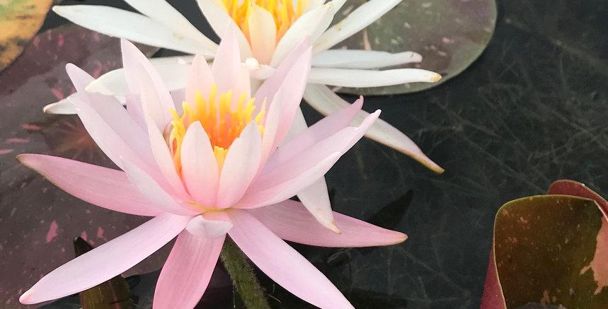 Water Lily 'Arc en Ciel'