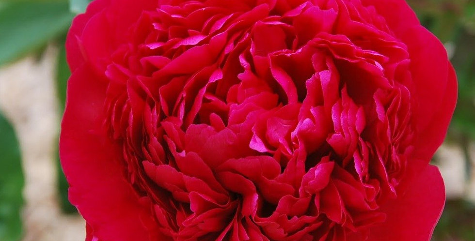 Peony 'Many Happy Returns'