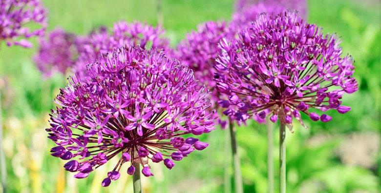 Allium - Purple Sensation