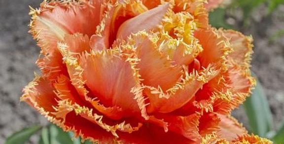 Tulip - Sensual Touch