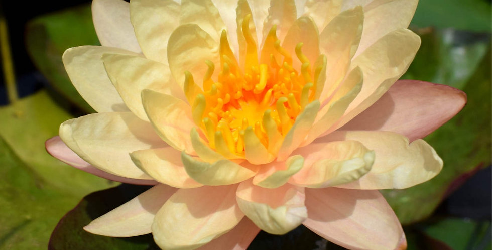 Water Lily 'Mangkala Ubol'