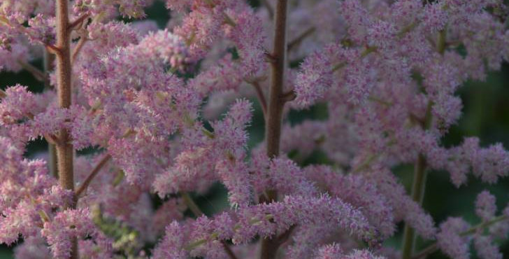 Astilbe 'Satin Pearls'