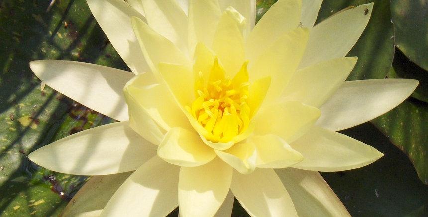 Water Lily 'Sulphurea'