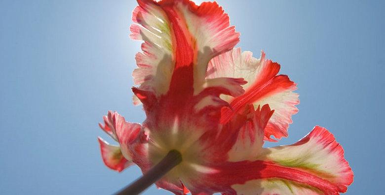 Tulip - Estella Rijnveld