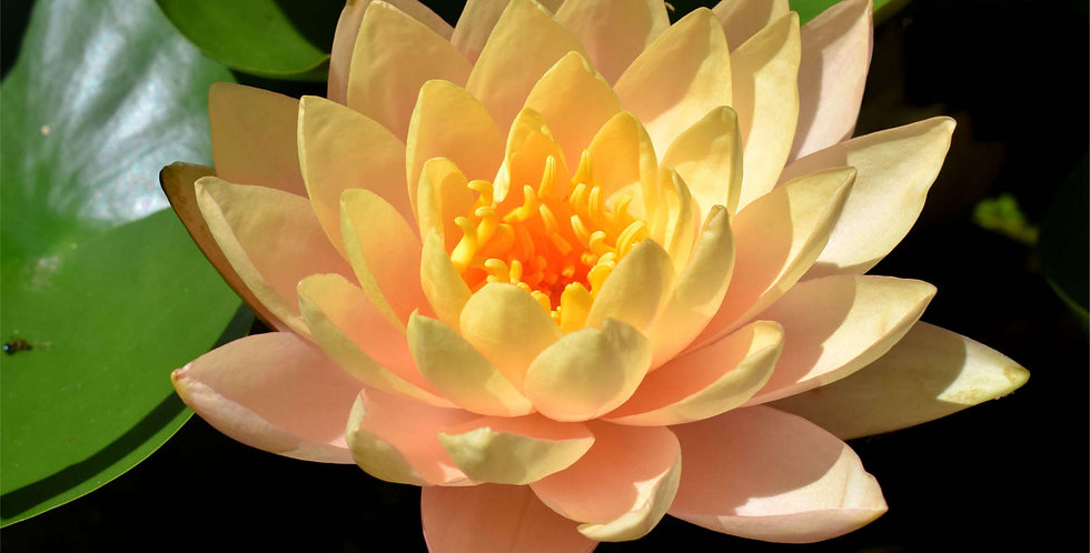 Water Lily 'Clyde Ikins'