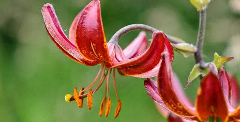 Martagon Lily 'Claude Shride'