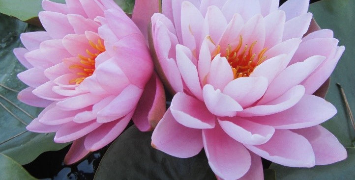Water Lily 'Peter Slocum'