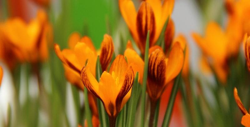 Crocus - Orange Monarch