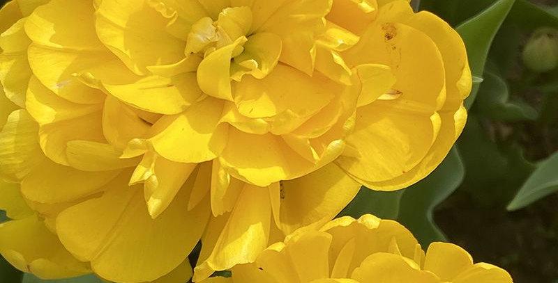 Tulip - Yellow Pomponette