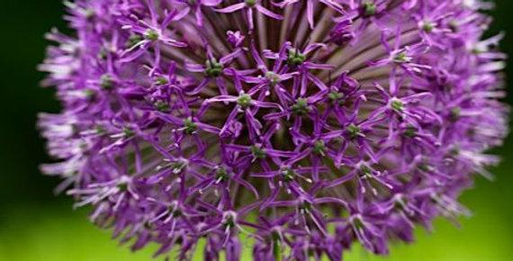 Allium - Goliath