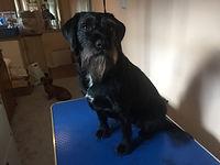 Handstrip, border terrier, mobile groomer, dog groomer, exeter