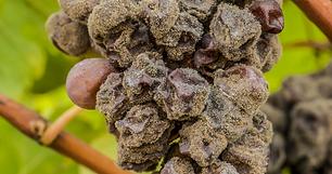 botrytis en uvas.png