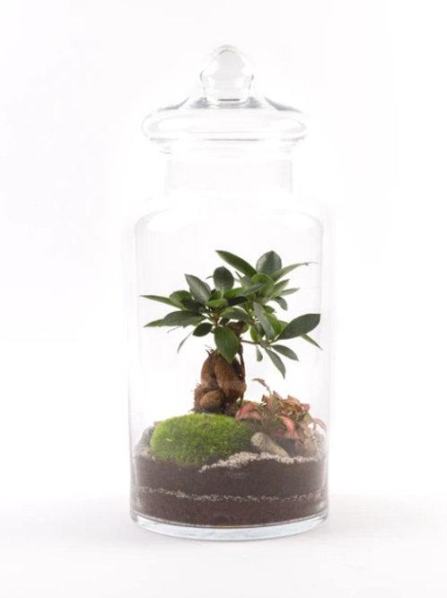 Terrarium Prairie L Ficus
