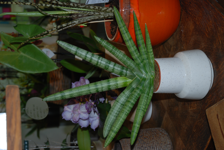 Plante verte, plante sanseveria