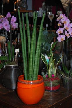 Plante  verte, sanseveria